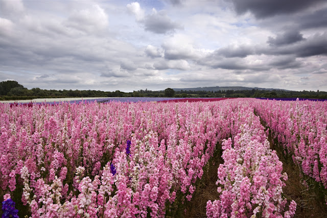 Rows of English Delphiniums at the Confetti Fields in Wick www.martynferryphotography.com