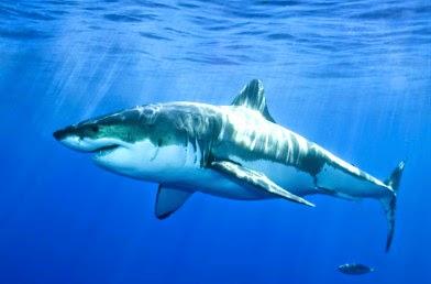 'Shark Week'  — Guilty of Fearmongering?
