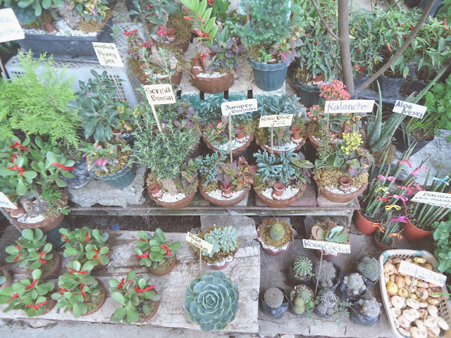 Baguio City, Cactus, Bonsai, Goodluck Plant, Sunflower, Everlasting,