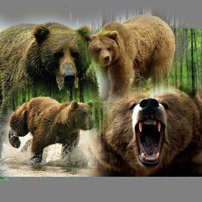 gambar_beruang_coklat