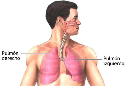 Dibujo de los pulmones del cuerpo humano
