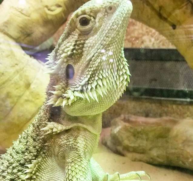 weekly reflect bearded dragon lizard