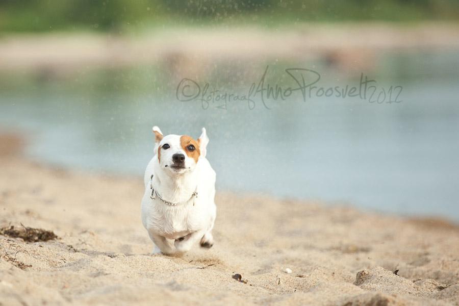 lemmikloom-koer-jookseb-rannas