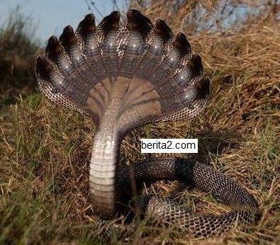 Ular berkepala 10 ditemukan di kalimantan heboh yafi blog ular berkepala 10 ditemukan di kalimantan heboh reheart Image collections