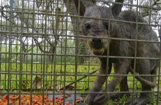Chupa-cabra capturado vivo