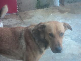 Cão a desistir de viver no Canil de Portimão - RISCO DE ABATE Canil+20110214+023