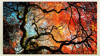 View of morning sky / through leaves, twisted limbs of old / Japanese maple. // micropoetry - haiku - haikumages