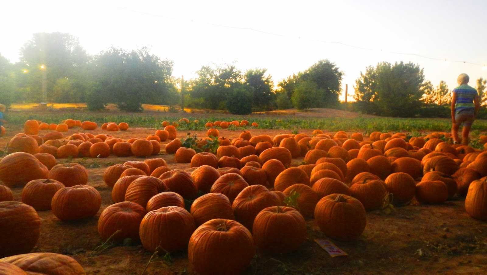 Williams pumpkin patch az