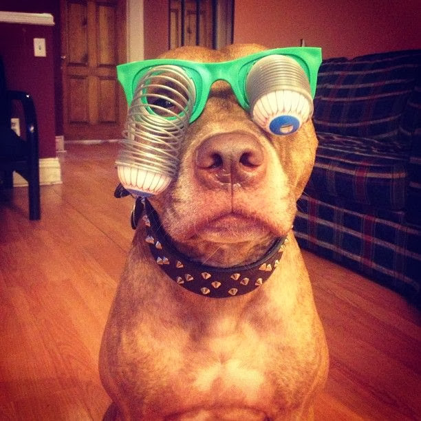 Scout the pit bull balances stuff on his head (30 pics), stuff on Scout's head, scout wear funny glasses