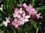 Nerium  (Bunga Mentega)