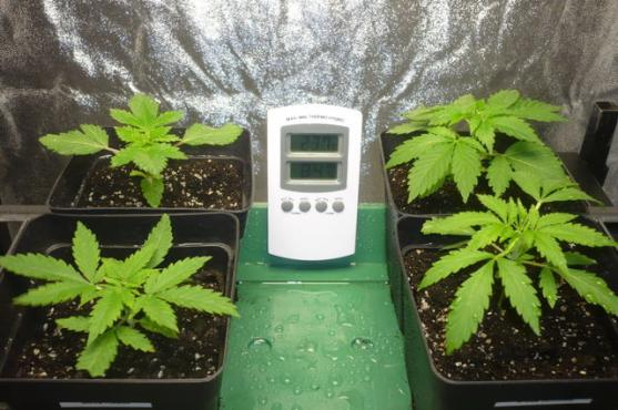 Blacktulips whiteroses cannabis cultivo e tratamento for Cultivo interior marihuana