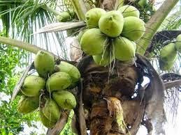 Air kelapa boleh menggantikan petrol dalam kecemasan