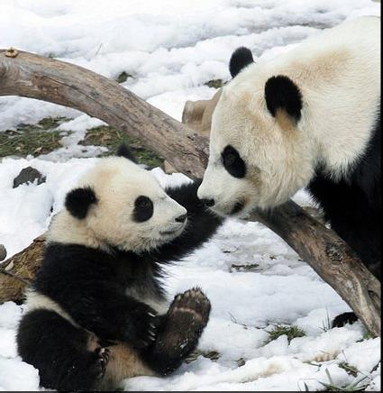 Ecco alcune foto di morbidi e dolci cuccioli di panda gigante. Questi  grandi mammiferi cinesi sono veramente tenerissimi, specialmente quando  sono ancora