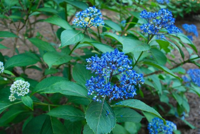 "Grown as an ""evergreen hydrangea"" in warmer climates, this hydrangea relative, Dichroa versicolor, is an introduction from China. Its hardiness is recommended as zones 8-10.  Its flower color is also determined by the soil pH like that of its hydrangea relatives."