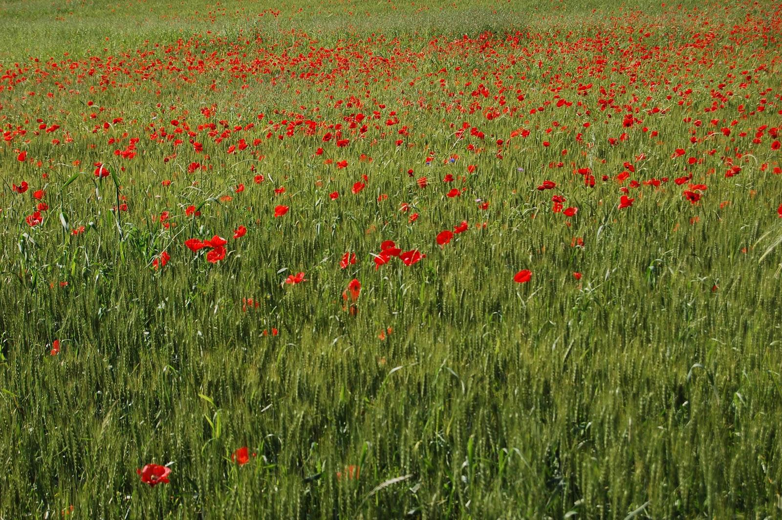 La mia regione parliamo di grano la coltivazione di for Posso costruire una casa sulla mia terra