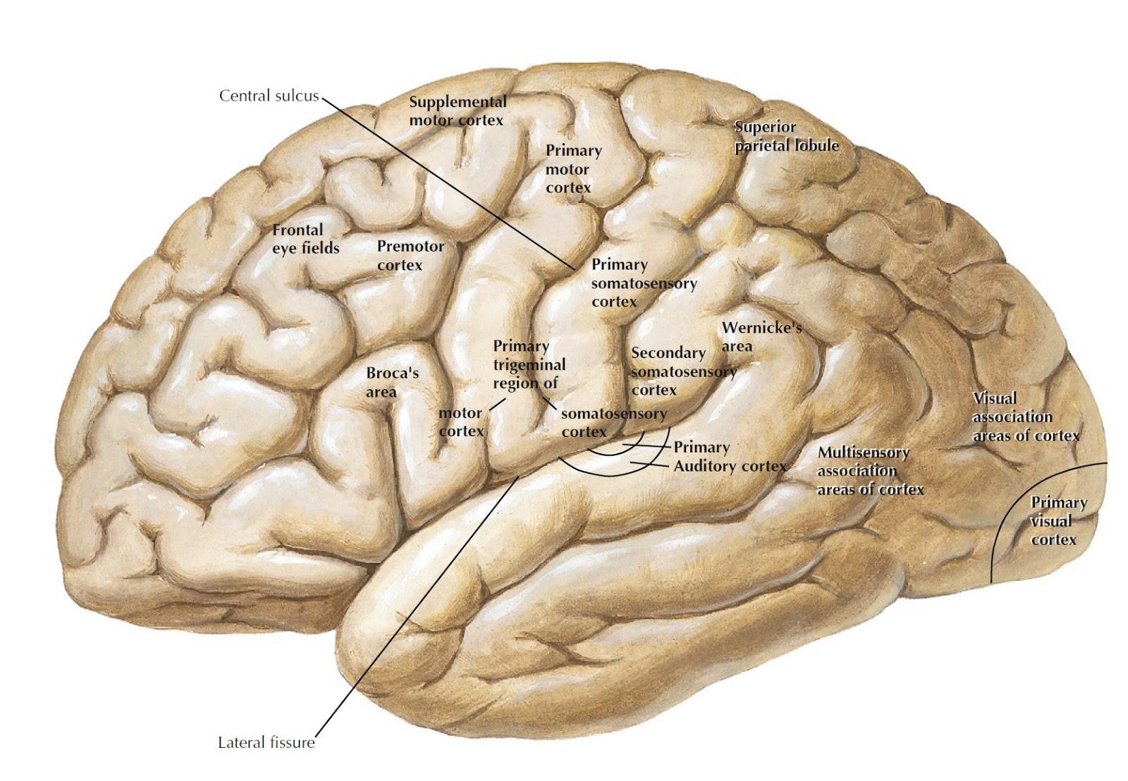 Brain diagrams ccuart Images