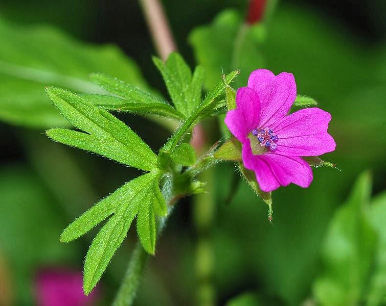 Single geraniums
