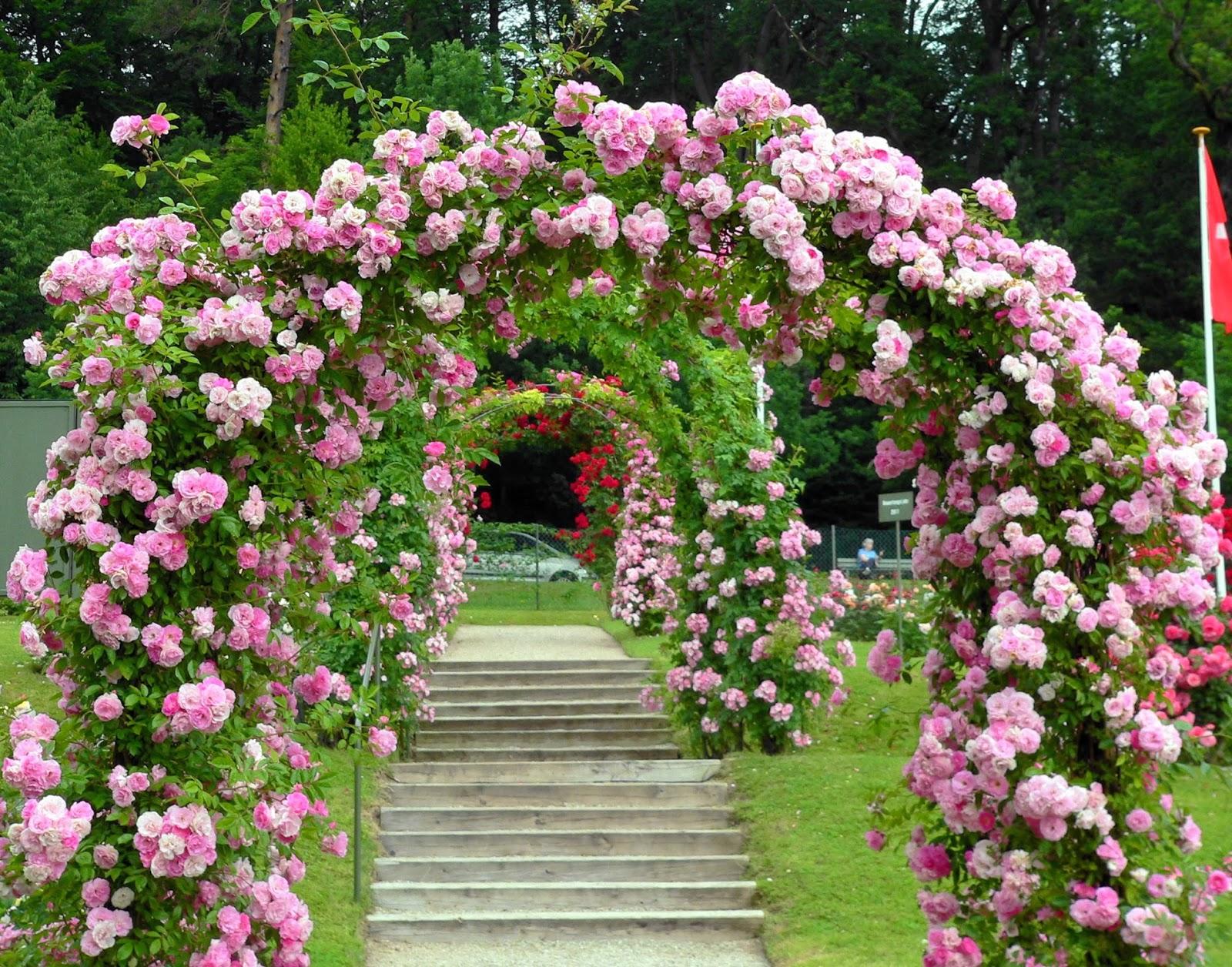 en bratt skr?ning ligger rosehagen Beutig med tusenvis av roser. En ...