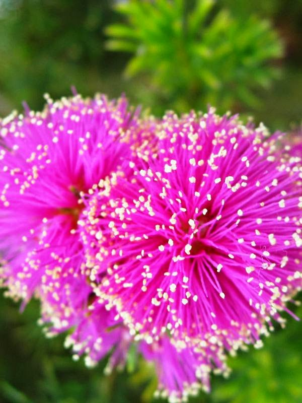Pink fluffy flowers