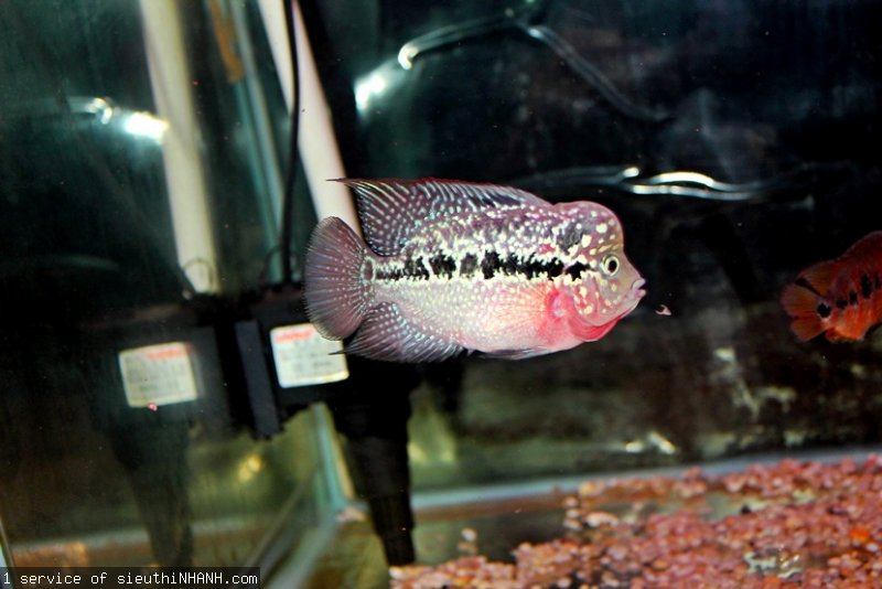 how to take care of baby flowerhorn fish