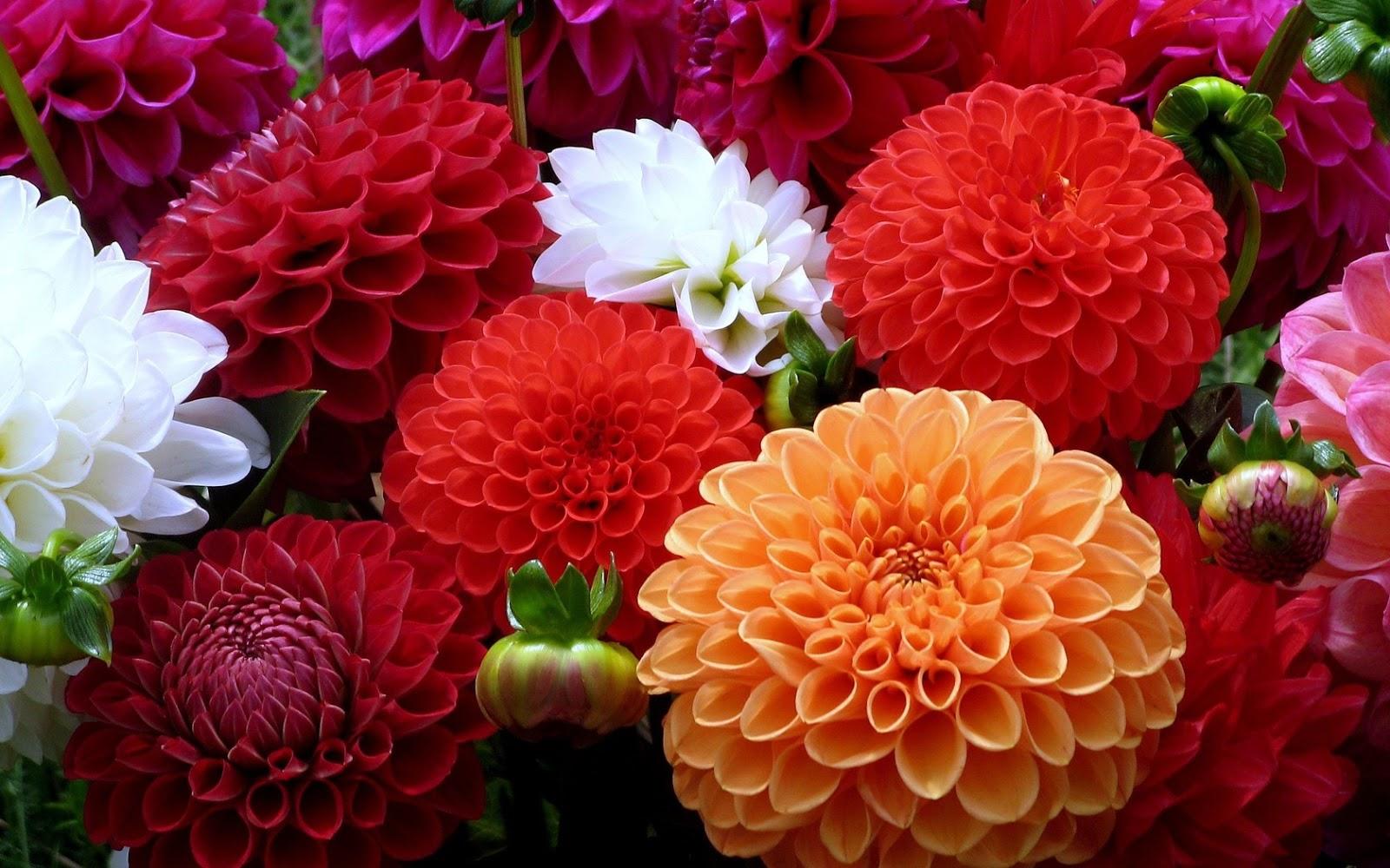 Wallpapernarium bellas flores dalias - Flores mas bonitas ...