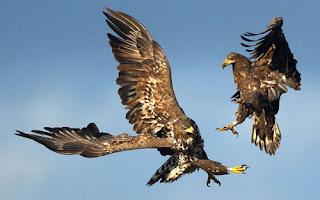 ảnh đẹp hình hai con đại bàng