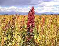 planta de quinua