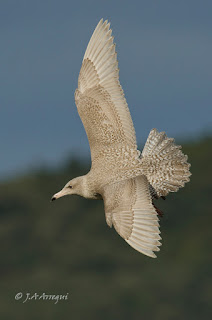 Gavión hiperbóreo, Larus hyperboreus, Glaucous Gull