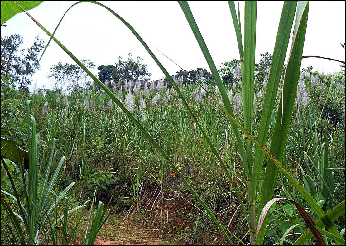 Costa Rica sugar cane blooming