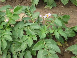 a healthy potato plant in flower