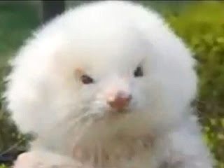 giant ferret, dogs, poodles, Argentina, steroids, con artists