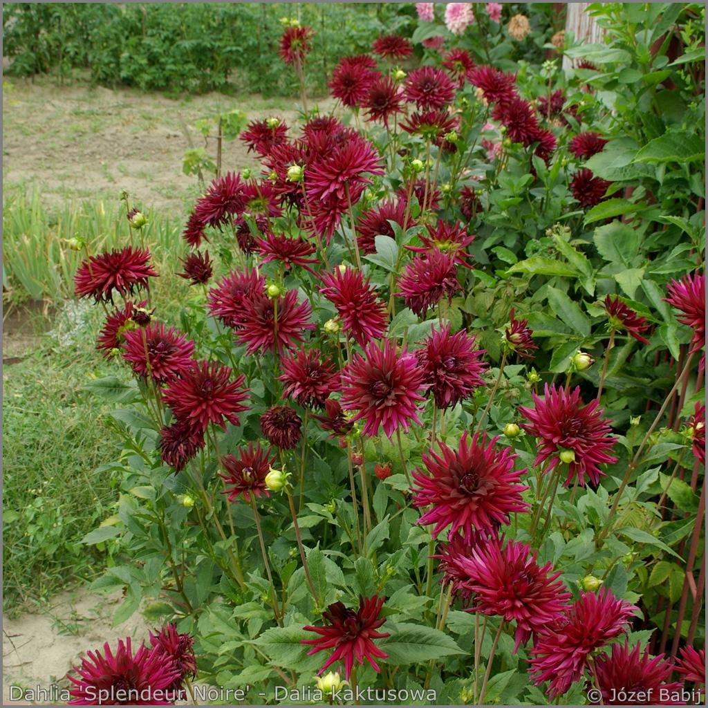 Dahlia 'Splendeur Noire'   Growth Habit of flowering plant   - Dalia kaktusowa 'Splendeur Noire'   pokrój kwitnącej rośliny