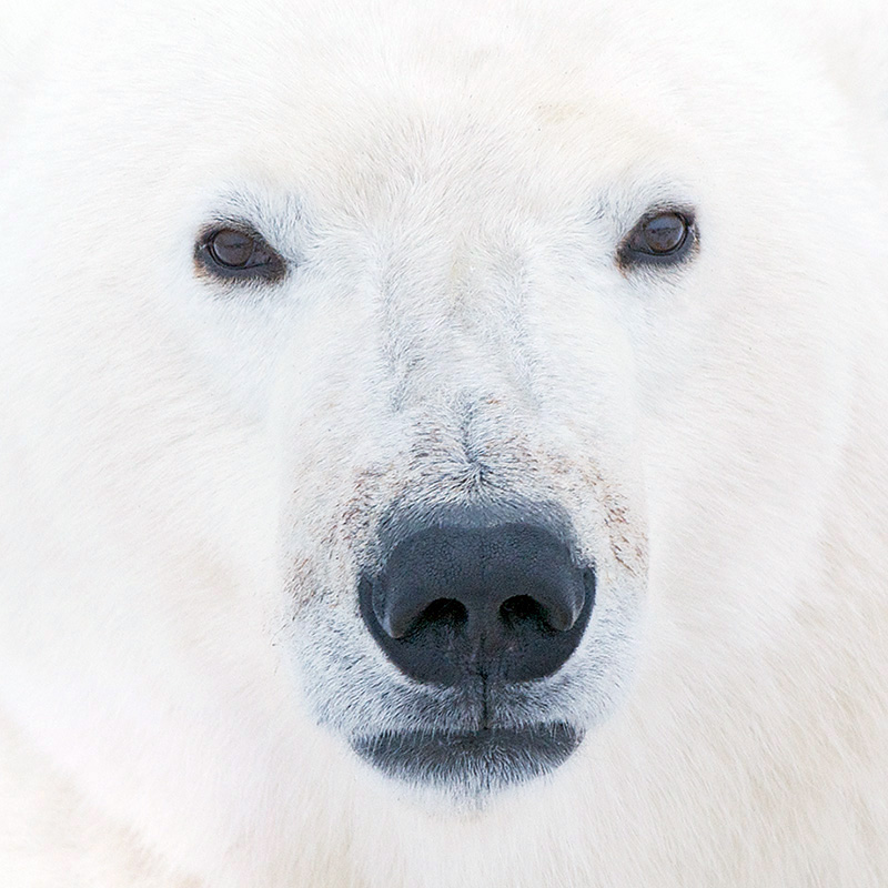 Polar bear smiling - photo#24