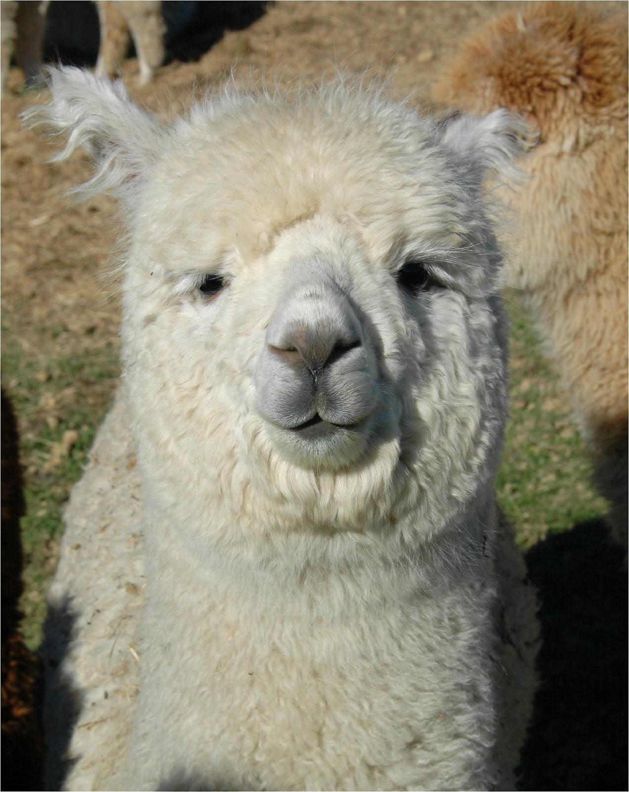 Alpaca Face Alpaca Overview...