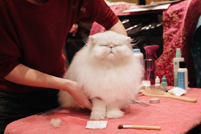 7 Epically Adorable Pictures From The Norwegian Forest Cat Show