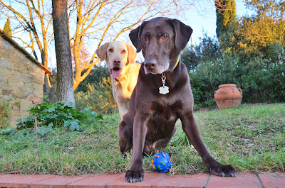 Flying Dogs To Italy : Harley and Boomer playing ball at La Tabaccaia outside Castiglion Fiorentino, Tuscany, Italy