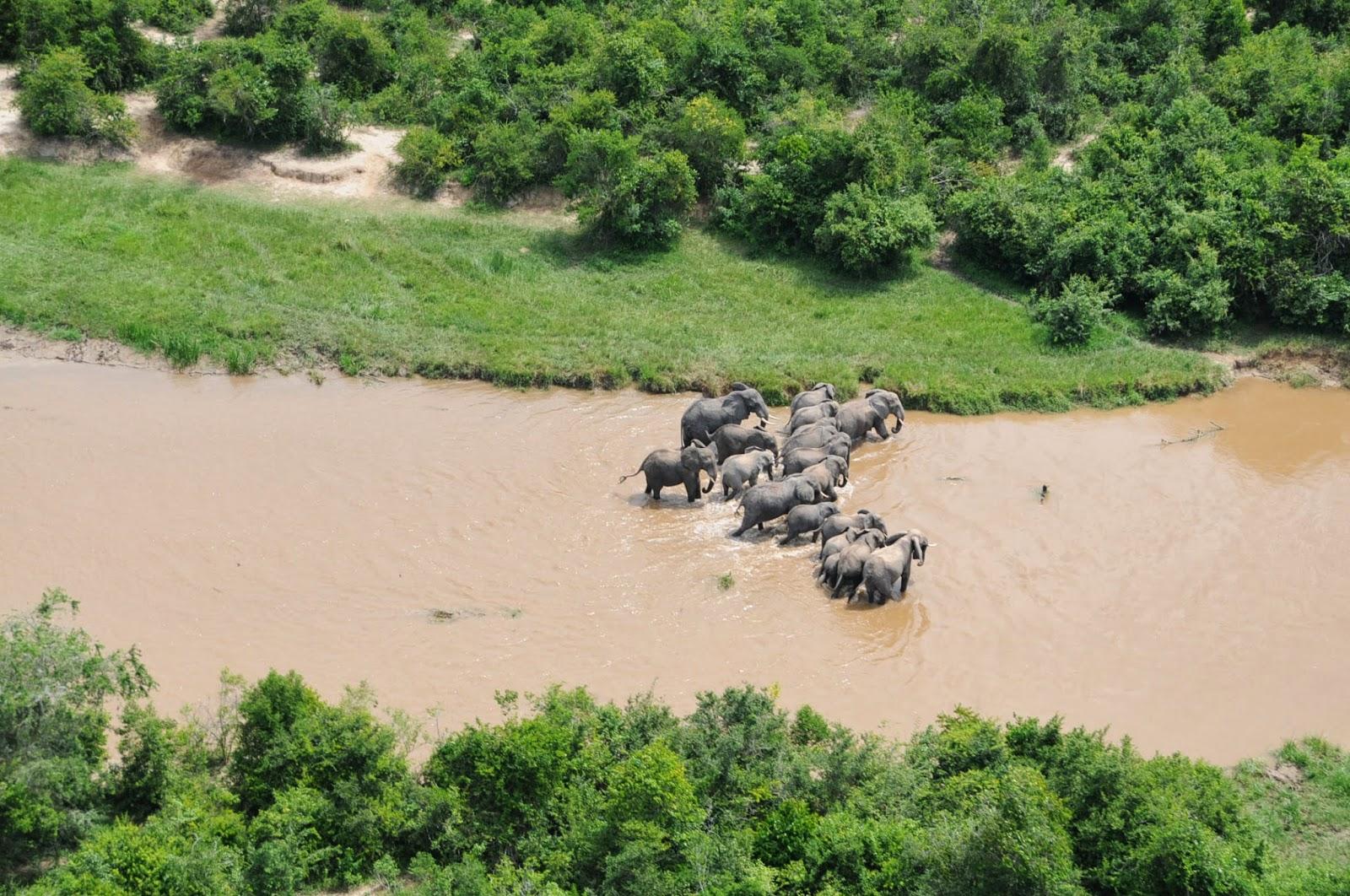 Les éléphants des Virunga sur les rives d'Ishasha