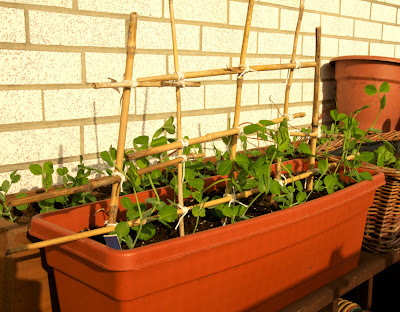 Toronto Balcony Gardening Making a Trellis from Old