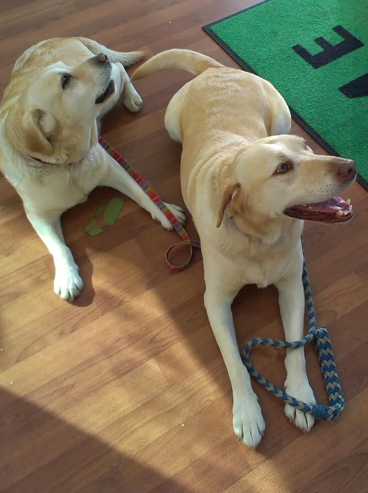 2 golden labradors