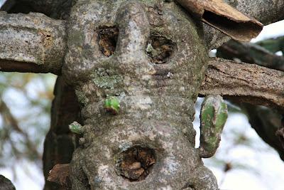 Cactus tree, Himachal Pradesh, Nahan