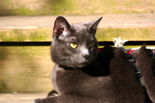 poze cu pisici din rasa Albastru de Rusia Russian Blue Breeds Cats Pictures pics images photography beautiful cats eyes