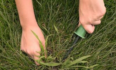 Cara Membasmi Gulma Rumput Jenis Crabgrass