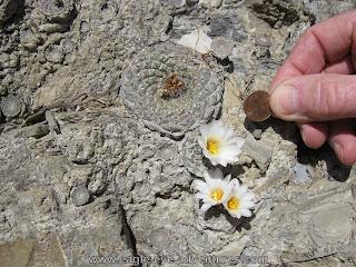 Strombocactus disciformis Queretaro
