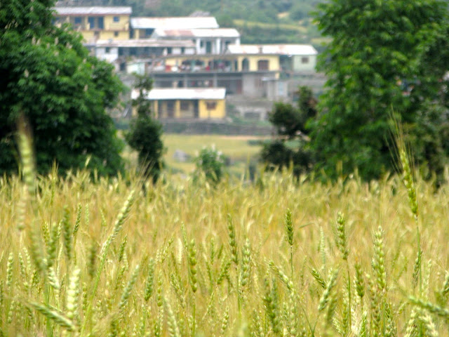 Barsu village against wheat fields