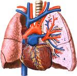 What is pulmonary circulation