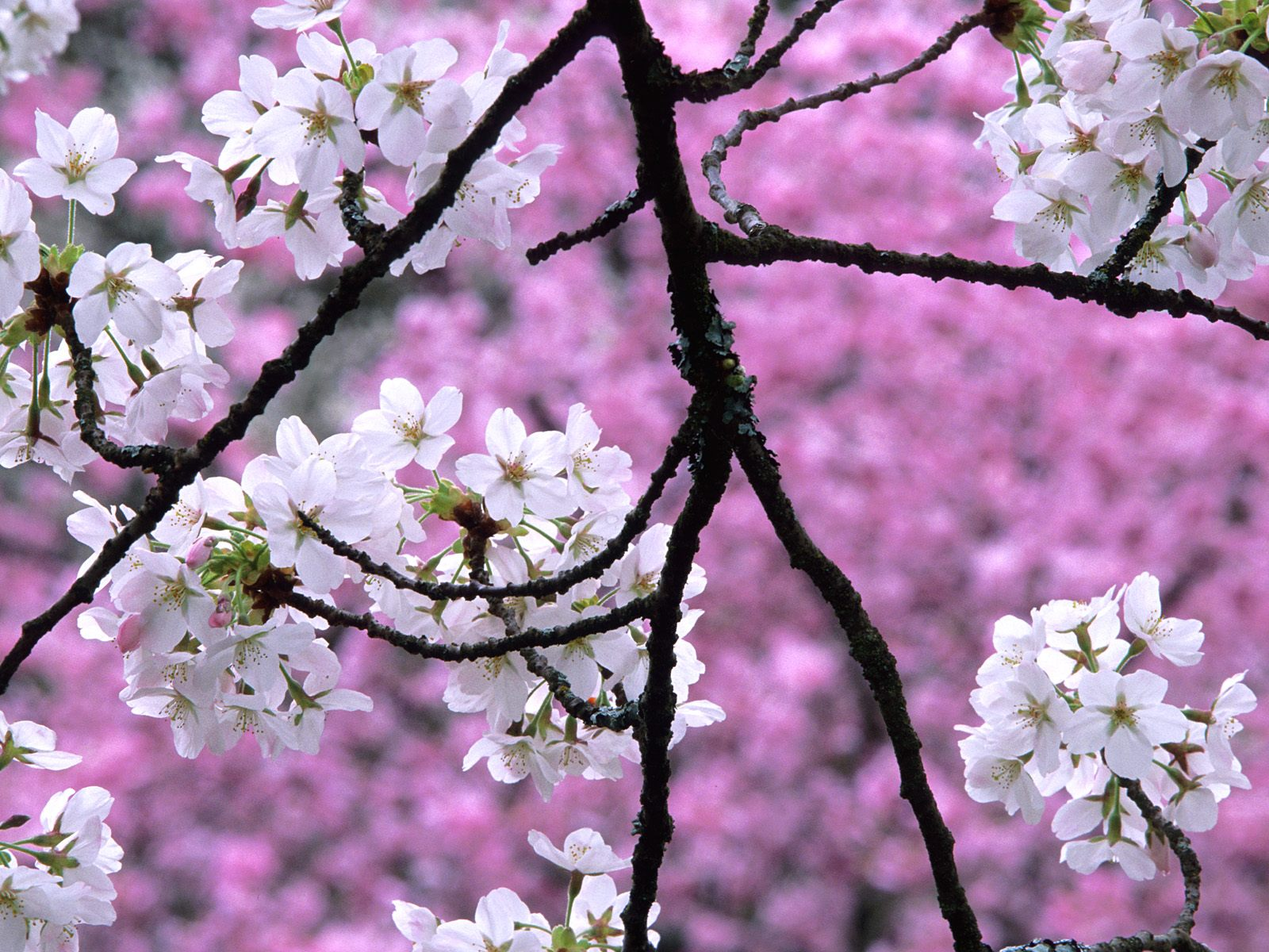 Cherry Blossom Wallpaper Desktop Funny Amazing Images