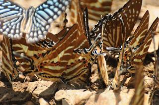 Chain Swordtail (Graphium (Pathysa) aristeus hermocrates)