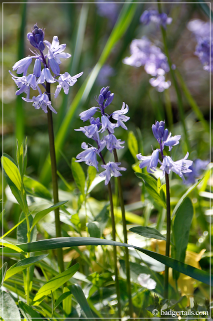Bluebells in Sunlight