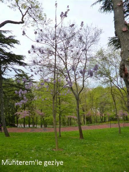 Jakaranda Ağacı