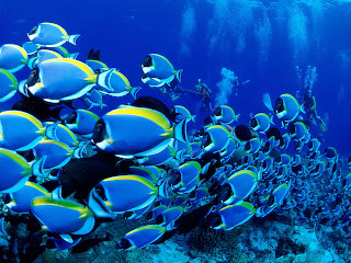 Blue Tang Fish Wallpapers